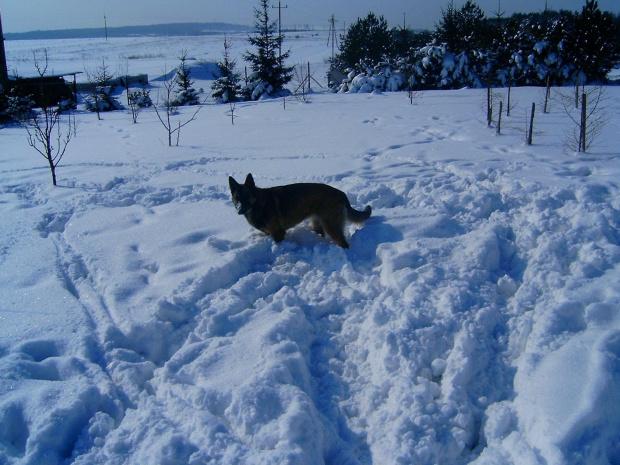 No co? Snieg na nosie to nic złego. #melcia #melka #zima #pies #dog #suka #suczka #młody #szczeniak #mróz #snieg #zaspy #szalenstwo #szaleństwo #uszy #nos #piesek #gryzon #luty #piesio #owczarek #niemiecki #ogon #łapy #zabawa