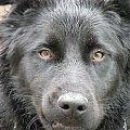 #pies #czarny #spojrzenie