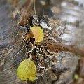 Jesiennie ale inaczej, hortensja pnąca-ostatnie listki #jesień #inaczej #przeróbki