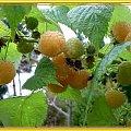 Trochę jesieni w moim ogrodzie...malin czar! #jesień #WOgrodzie #collage #MalinyKrzewy #owoce