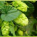 Czas piwo warzyć! #namalowane #obrazy #chmiel #WOgrodzie #pnącze