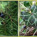 trochę jesieni w moim ogrodzie...miłorząb,jałowiec, bluszcz,borówka amerykańska #jesień #collage #rośliny
