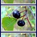 Widziane inaczej... #collage #krzewy #przeróbki #inaczej #jagody #owoce