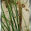 Wydmowe trawy, tuż przed jesienią #namalowane #obrazy #trawy #wydmy #NadMorzem