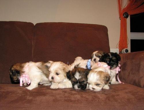 ferajna Shih tzu prawie w komplecie #psy #zwierzęta #szczeniaczki #ShihTzu