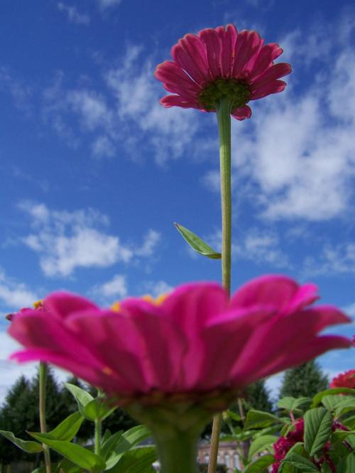 #czwerony #gerbera #Gerbery #kwiatek #kwiatki #lato #niebieski #niebo #różowy #wiosna