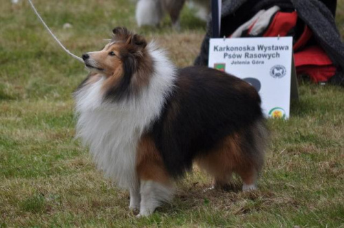 little-star.pl sheltie
