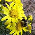 pszczółka w pracy #ficiol007 #makro