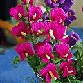 Groszek pachnący #bibuła #dekoracje #hobby #KompozycjeKwiatowe #krepina #KwiatyZBibuły #MojePrace #pomysły #RobótkiRęczne
