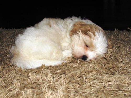 śpiący Shih tzu #Psy #ShihTzu #zabawa #zwierzęta #szczeniaczki