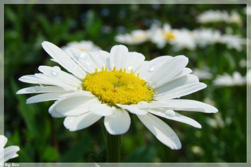 #kwiaty #margaretki #ogród #wiosna