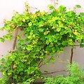 #Winogrona #Krzew #Natura